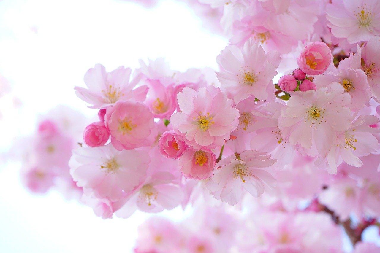 Zweig eines japanischen Kirschblütenbaums